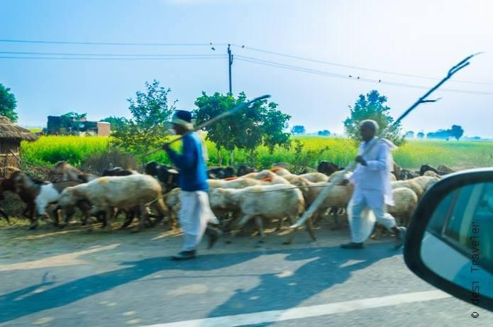 nomadic shephered on rajasthan highway