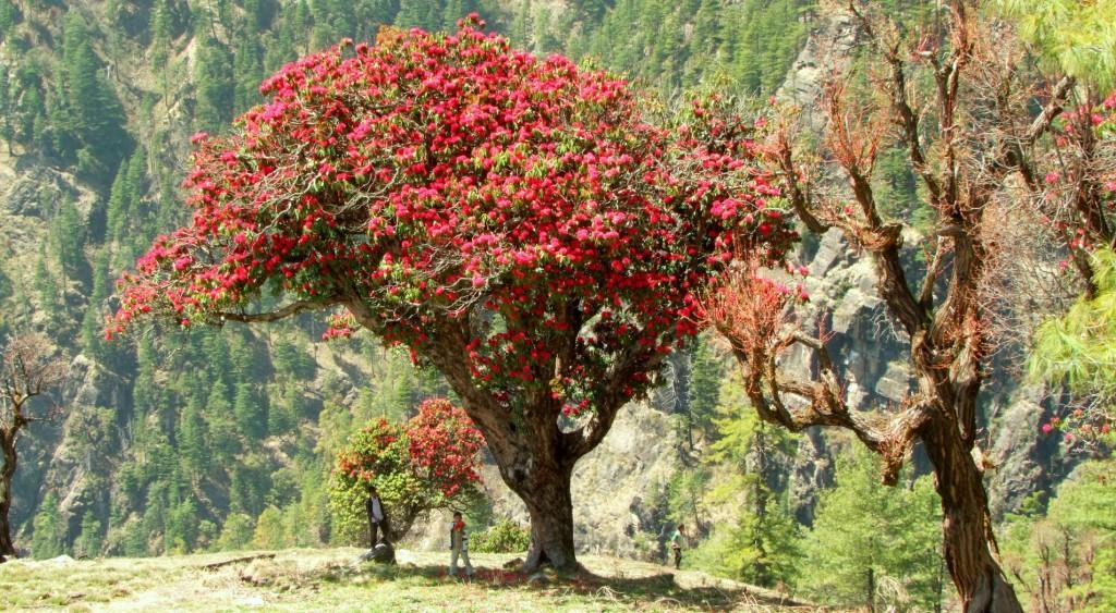 Buransh flowering Uttrakhand
