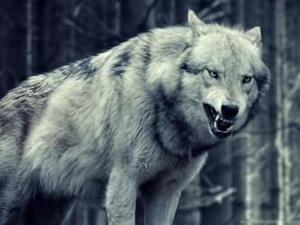 Wolf wallpaper iphone 5 animals wolf iphone 6 plus 1080x1920 wallpaper jpg Desktop Background