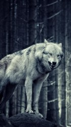 Lone Wolf Wolf Wallpaper Iphone