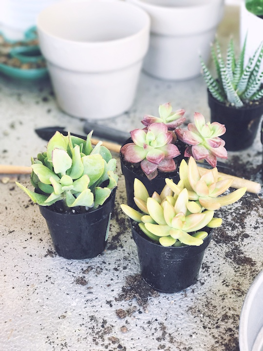 DIY Mother's Day Succulent Gift via Desperately Seeking Gina