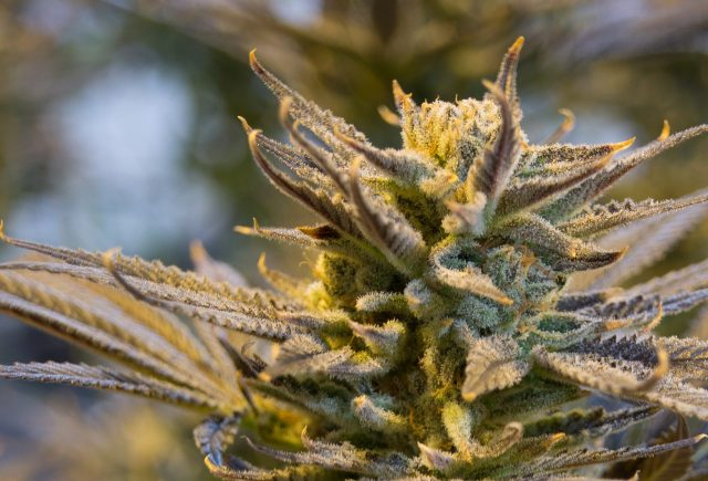 ¿Qué efectos tiene la Marihuana en la salud?