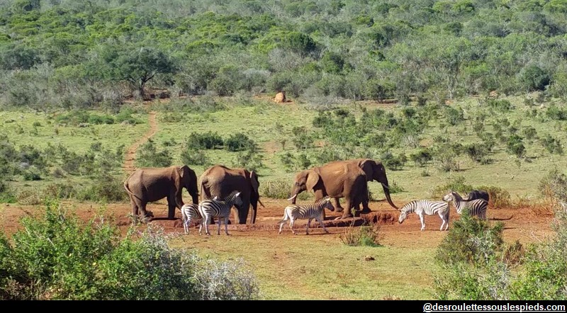 Safaris en Afrique du sud, Addo Park – approcher la vie sauvage