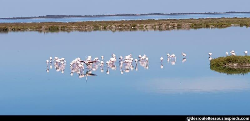 visiter la camargue à vélo flamands roses étangs de vaccarès