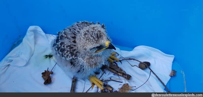 oiseau tombé du nid - poussin élanion blanc