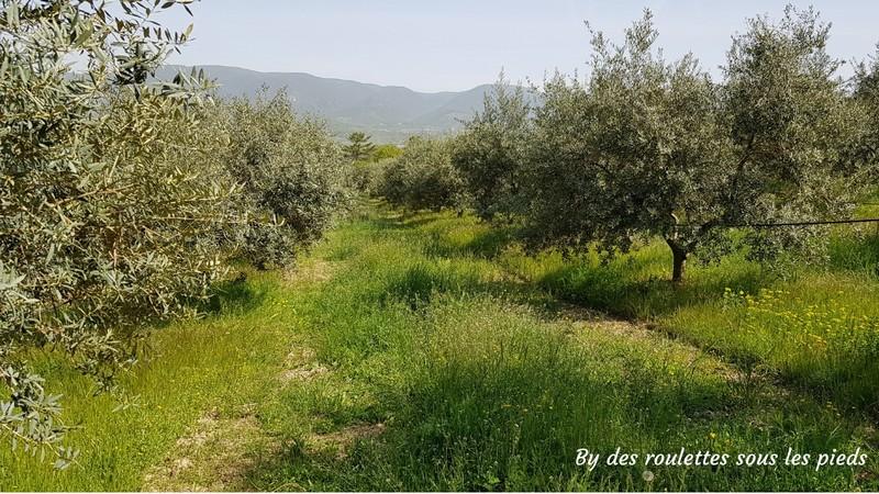 visiter une oliveraie en provence les oliviers de bastide de laval
