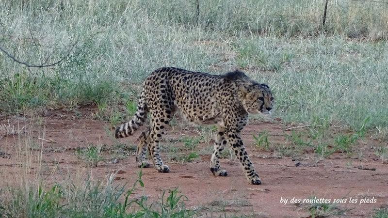 safaris en namibie cheeta guépard