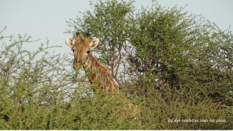 safaris en namibie girafe erindi