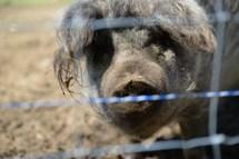 cochon-laineux