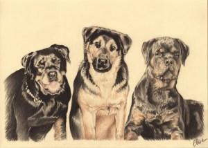 Portrait dessin d'après photos de chiens rottweiler et berger allemand