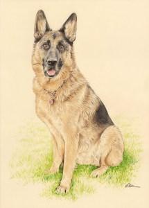 Portrait dessin d'après photo d'un chien berger allemand