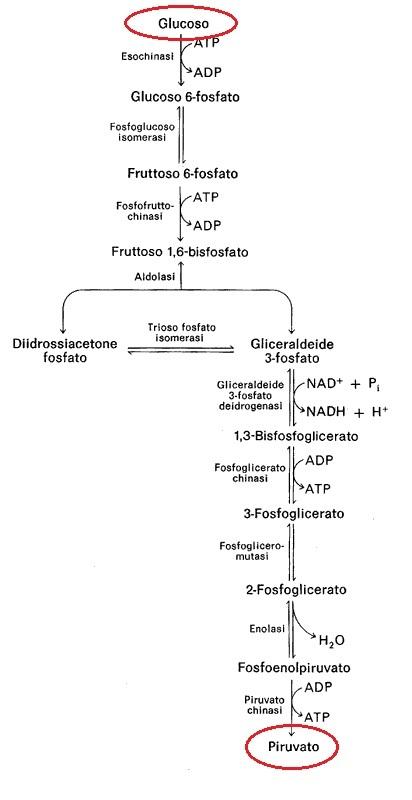 glicolisi1
