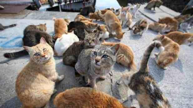 Kucing Pulau Dea Dea