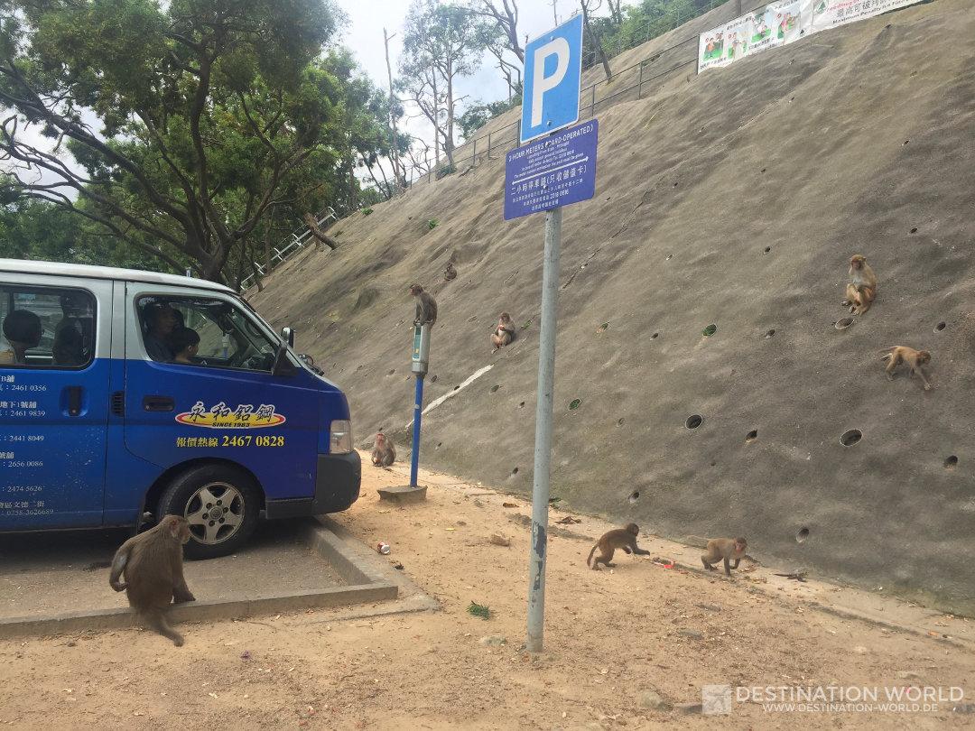 Die Affen belagern ein Auto aus dem sie gerade gefüttert wurden