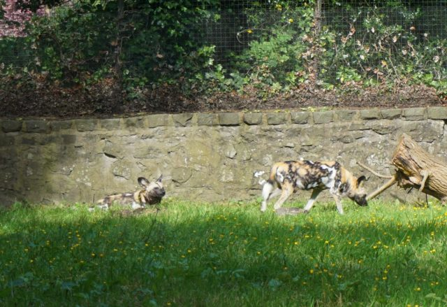 Vilde hunde i Edinburgh Zoo