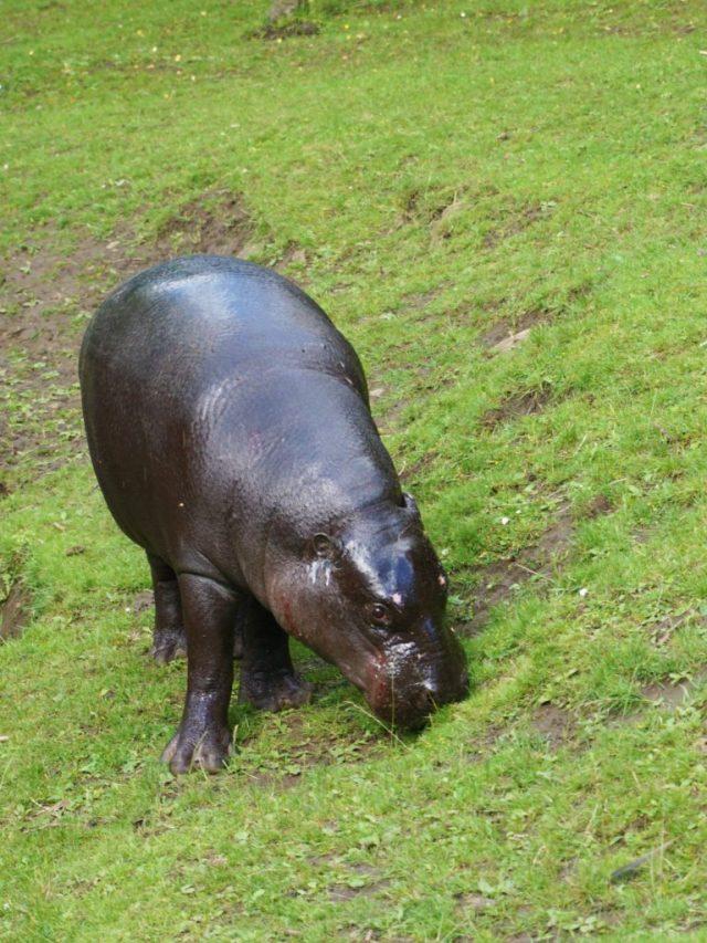 Pygmæflodhest i Edinburgh Zoo