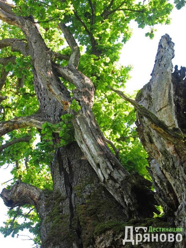 Дървото на Асеневци 2
