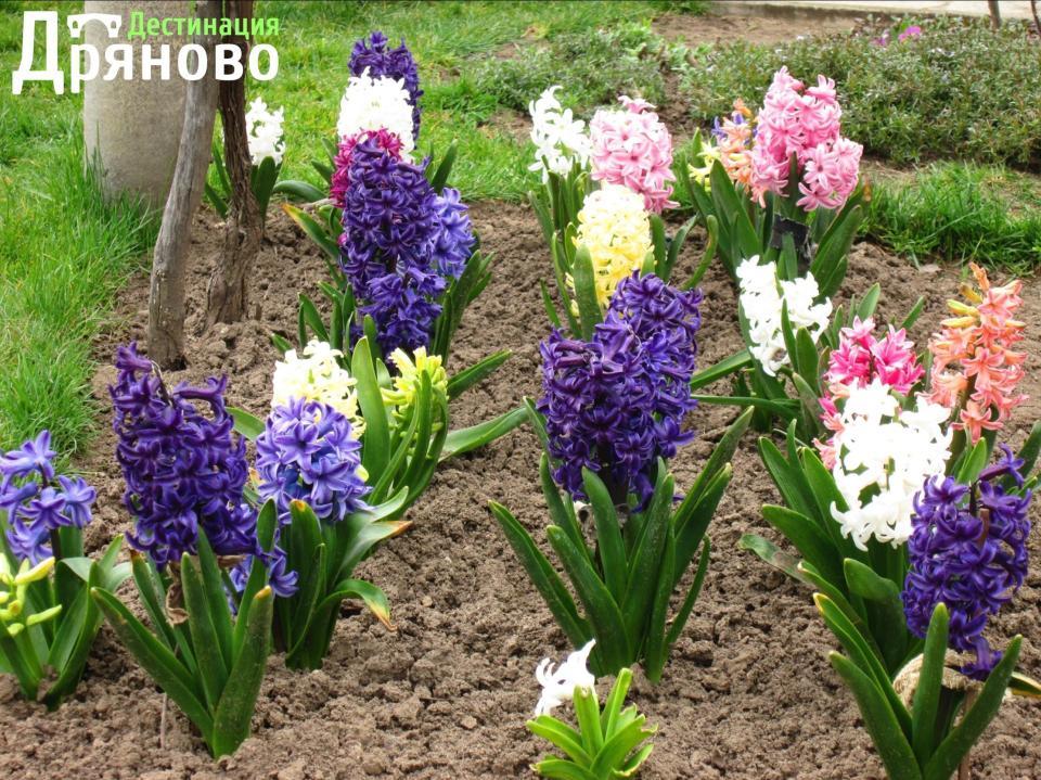 Цветята на Дряново