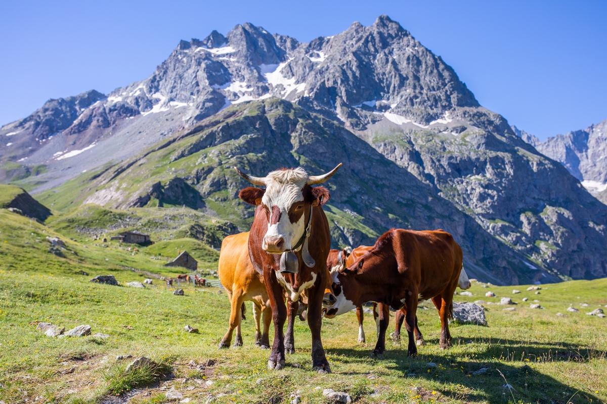 Vaches Alpe de Villar