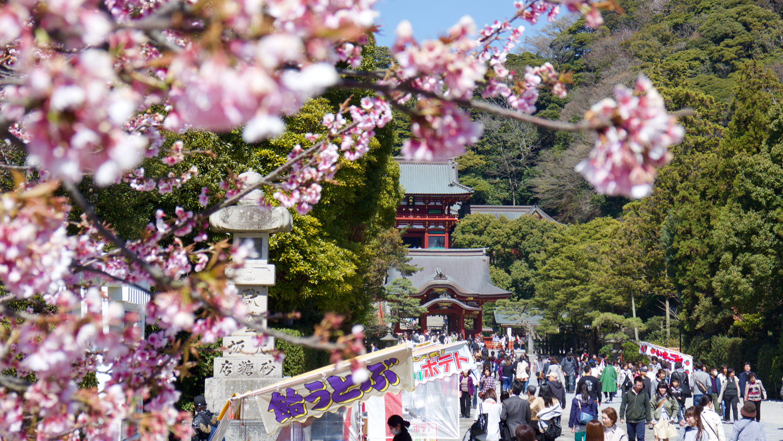 Entrance lane of the Hachimangu shrine in Kamakura with Cherries.