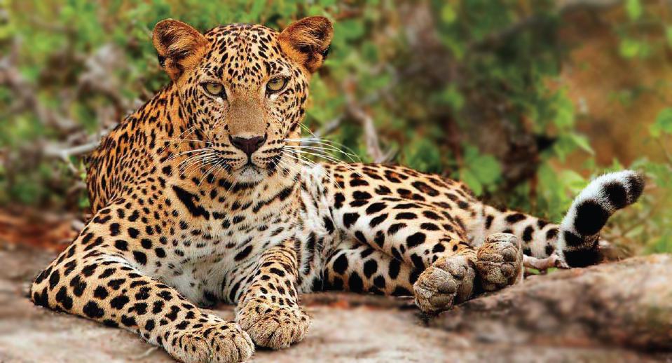 DK-Leopard