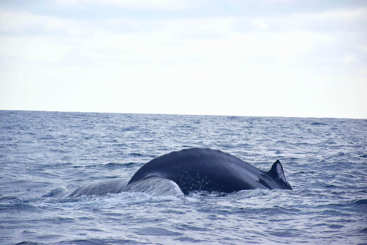 whale watching on isla de la plata tours