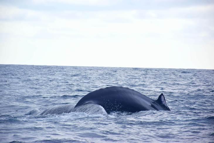 humpback whale watching ecuador