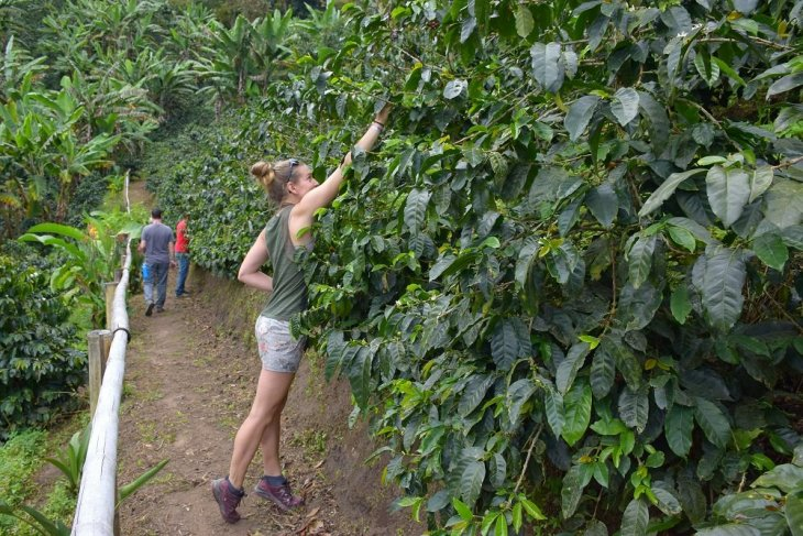 picking coffe beans in salento colombia travel blog