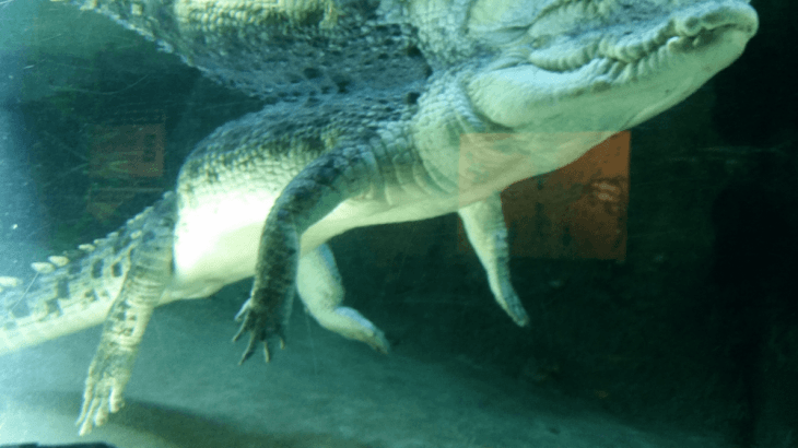 the croc at the territory wildlife park