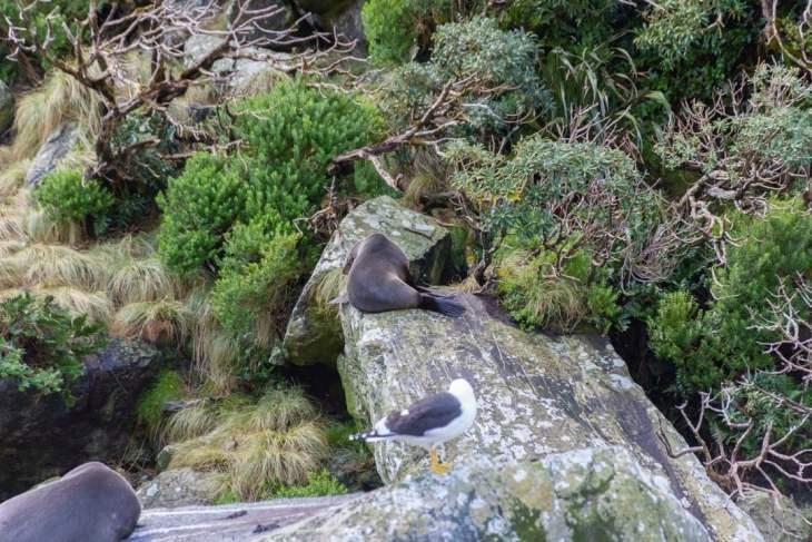 fur seals at milford soun