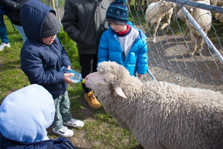 feeding the sheep at mt nicholas farm