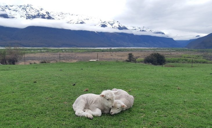 lambs at he glenorchy farm experience