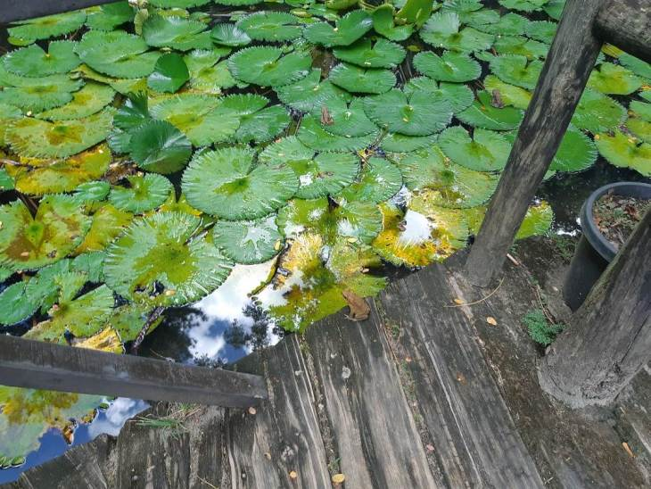 the frong in the lily pond