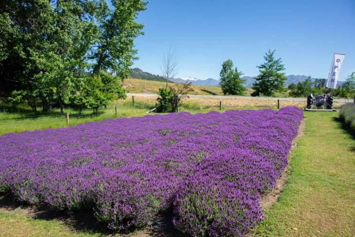 wanaka lavender farm cost