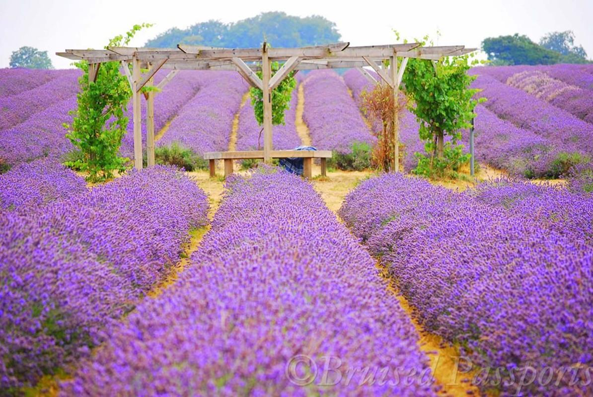 Mayfield Lavender Farm © Bruised passports