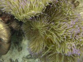 Sea anemone on Koh Wao