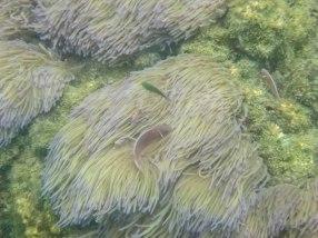 Clownfish and sea anemone on Koh Wao