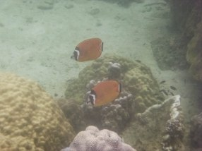 Butterflyfish at Koh Wao