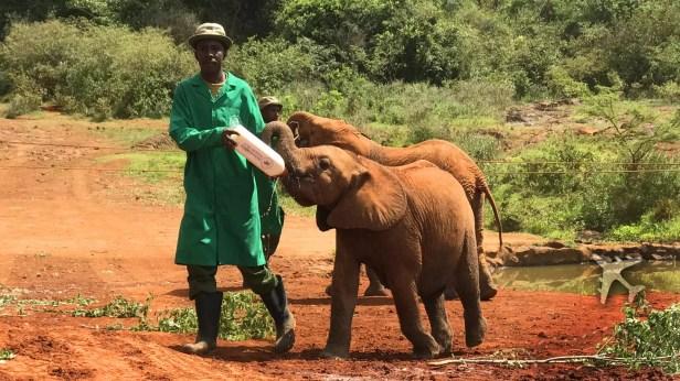 Baby elephants being bottle fed at elephant orphanage in Nairobi, Kenya