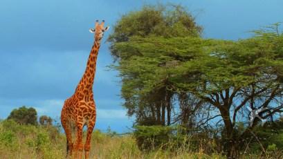 Giraffe at Nairobi National Park