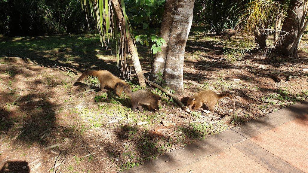 coatis iguazu