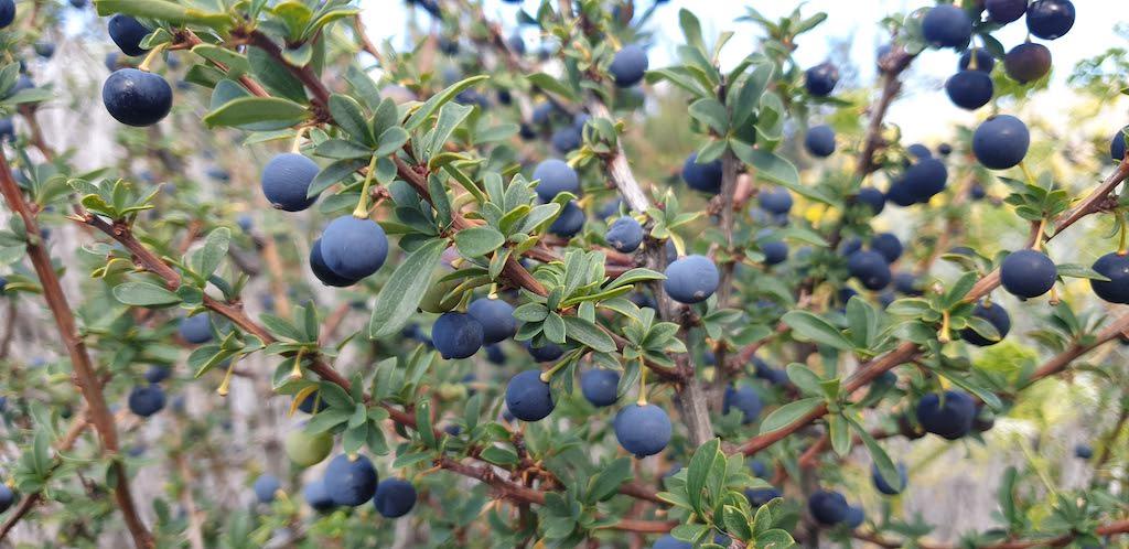 fruit calafate