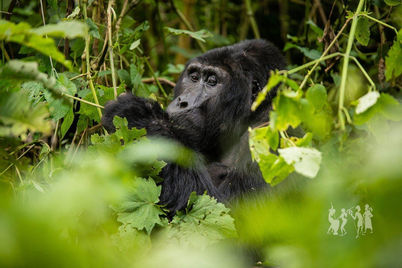 Gorilla Adventure Safari in Uganda, gorilla tour