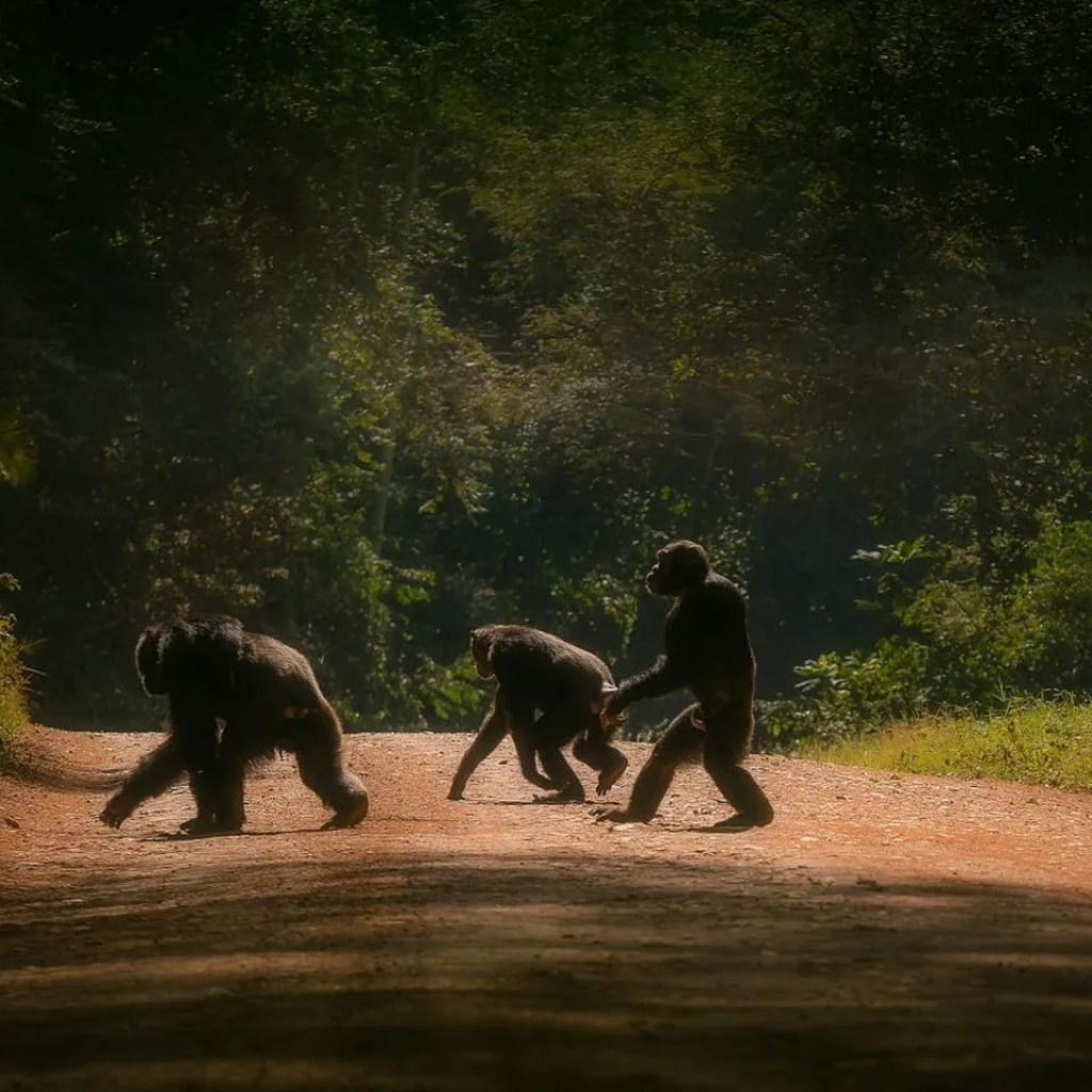 Chimpanzee walking on two in Kibale