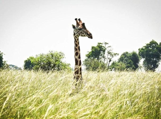 Gorilla tours & Africa safari vacations in Uganda and beyond!