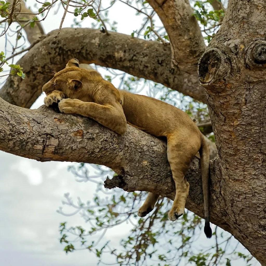 ishasha sector tree lions