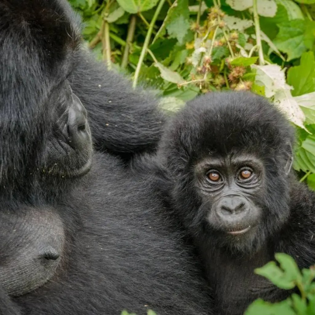 Mother baby gorilla in Nkuringo