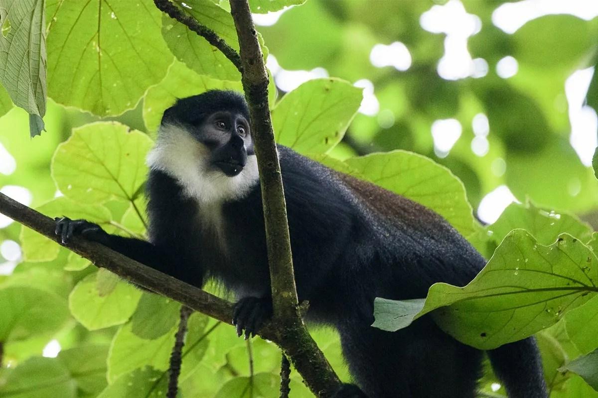 L'Hoest's Monkey Uganda