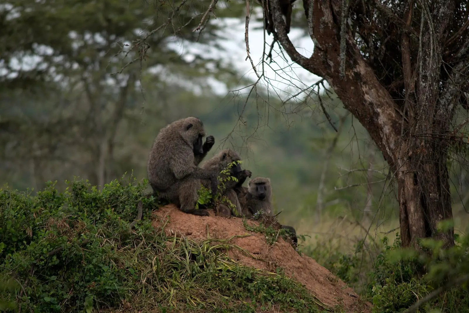 Olive Baboons: Most Dangerous animals in Uganda