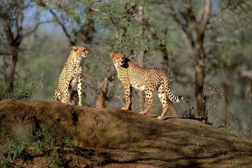 Africa big 5 animal, Cheetah in Kidepo Valley national Park uganda